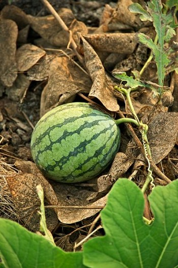 Travel with WWOOF and pick watermelons on an organic farm in Taiwan