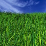 No regulation for biotech grass